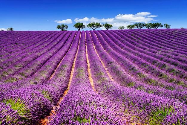 Lavender w południowej francji