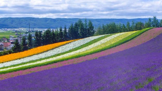 Lawenda i inny kwiat pole w hokkaido - japonia, tło natura