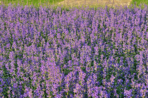 Lawendowe pole i trawa tło