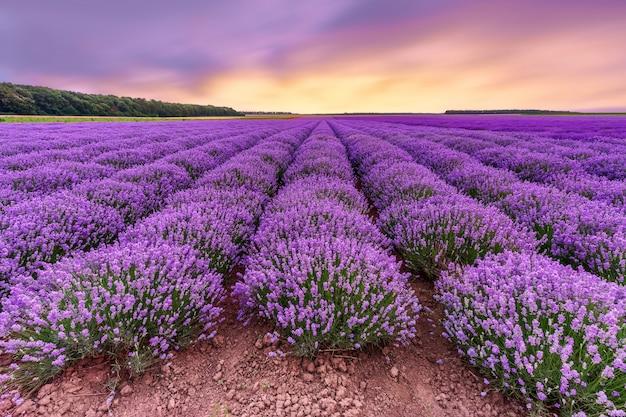 Lawendowe pole. piękny lawendowy kwitnienie czujący kwiaty z dramatycznym niebem.
