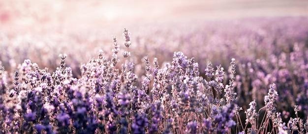 Lawendowe pole w lecie. aromaterapia. kosmetyki naturalne.