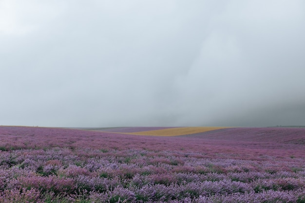 Lawendowe pole w pochmurną pogodę. kwiatowe fioletowe tło