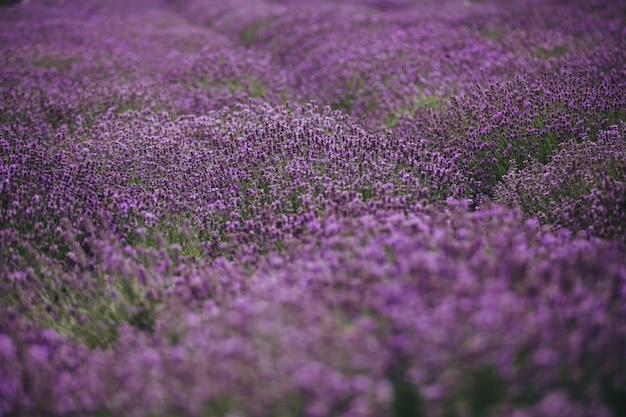 Lawendowe pole w provence, francja. kwitnące fioletowe pachnące kwiaty lawendy. żniwa.
