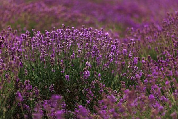 Lawendowe pole w provence, francja. kwitnące fioletowe pachnące kwiaty lawendy.