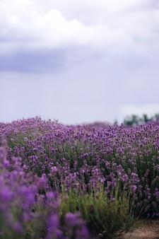 Lawendowe pole w słońcu, prowansja, plateau valensole. piękny obraz pola lawendy.