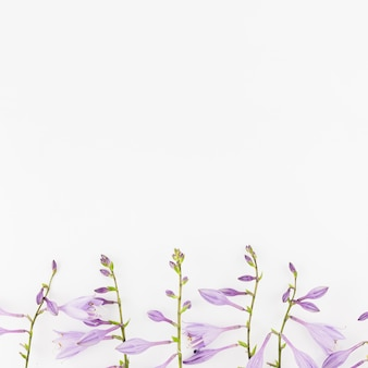 Lawendowi kwiaty na pustym białym tle