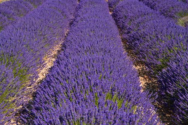 Lawendowy kwiat kwitnący pachnące pola
