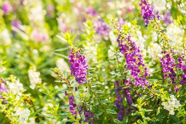 Lawendowy kwiat ogród