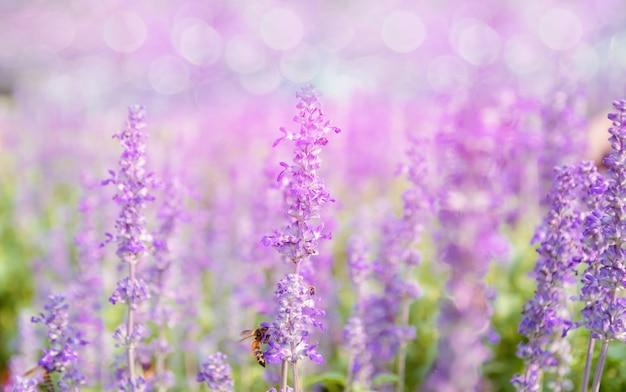 Lawendowy kwiat piękny i jaskrawy purpury