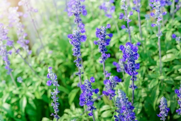 Lawendowy kwiat w ogrodzie,
