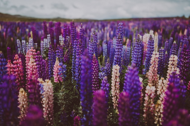 Lawendowy ogród w nowej zelandii pod zachmurzonym niebem