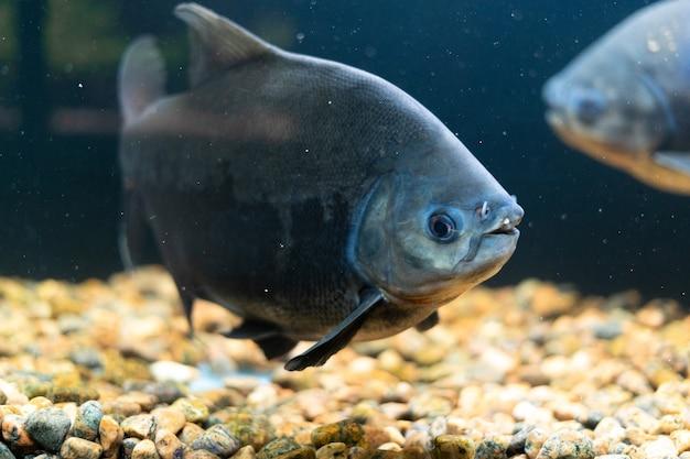 Ławica czerwonych ryb pacu piranii pływa w akwarium ryb drapieżnych