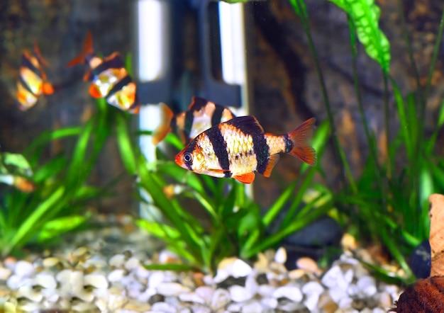 Ławica ryb akwariowych-barbus-pięciopasmowa brzanka. (barbus pentazona)