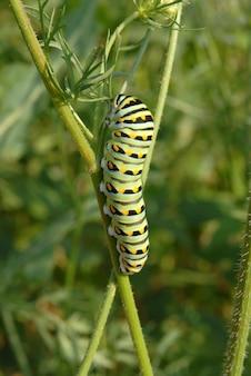 Leavenworth w stanie kansas. czarna gąsienica paziowatych.