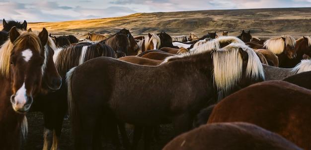 Lędźwie i grzywa wielu islandzkich koni razem.