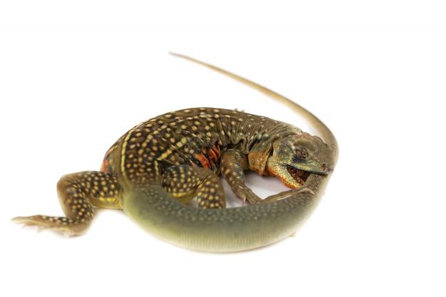 Legwan azjatycki lub jaszczurki motyl izolować na białym tle
