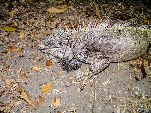 Legwan. duża jaszczurka zeszła z drzewa na ziemię. ameryka południowa. wenezuela. duża jaszczurka. gad.