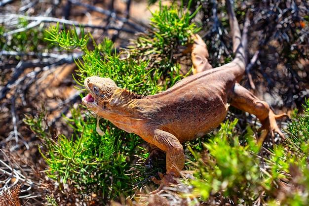 Legwan lądowy (conolophus subcristatus) endemiczny dla wysp galapagos. jaszczurki (conolophus) w tropikalnym świecie zwierząt. obserwacja obszaru dzikiej przyrody. wakacyjna przygoda w ekwadorze