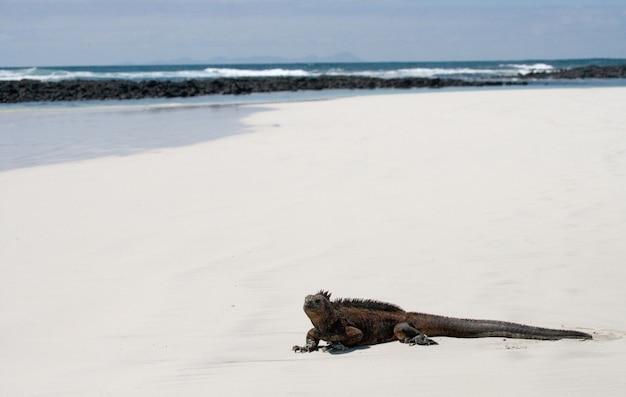 Legwan morski siedzi na białym piasku