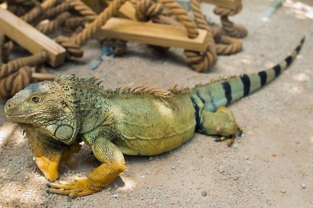 Legwan w rezerwacie na wyspie mauritius, duża jaszczurka iguana w parku na wyspie mauritius