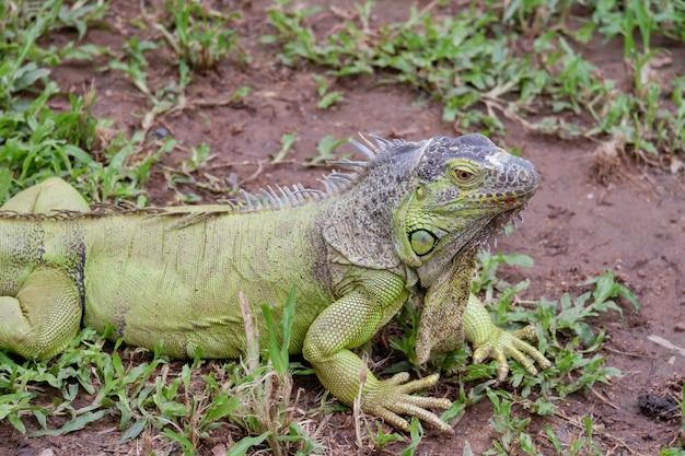 Legwan zielony to zwierzę gadów na ziemi