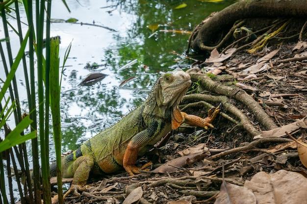 Legwan zielony wyłaniający się z zielonego jeziora pełnego suchych liści dry