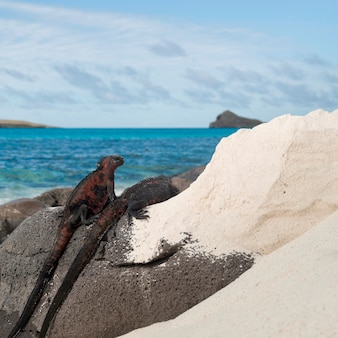 Legwany morskie (amblyrhynchus cristatus) na skale na wybrzeżu, gardner bay, espanola island, wyspy galapagos, ekwador