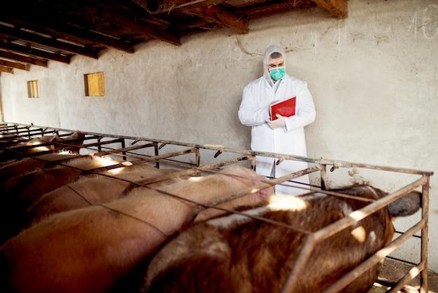 Lekarz weterynarii badający fermę świń pod kątem niektórych chorób, sprawdzający zdrowie każdej świni.