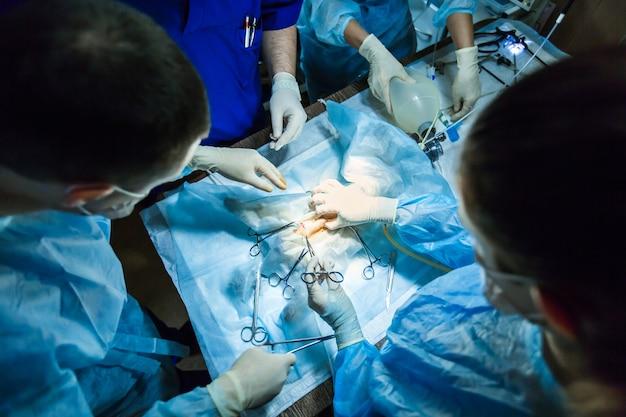 Lekarz weterynarii na sali operacyjnej do zabiegu laparoskopowego z oświetleniem artystycznym.