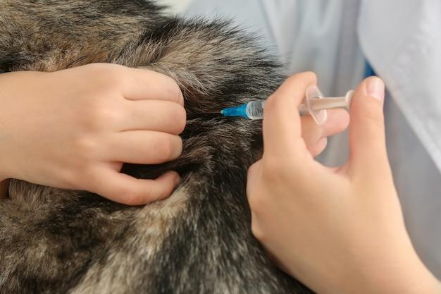 Lekarz weterynarii szczepi psa husky w klinice, zbliżenie