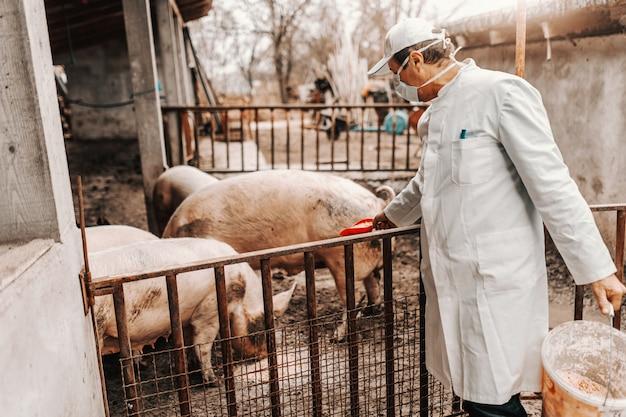 Lekarz weterynarii w białym płaszczu i masce na twarzy karmiących świnie. koncepcja hodowli świń.