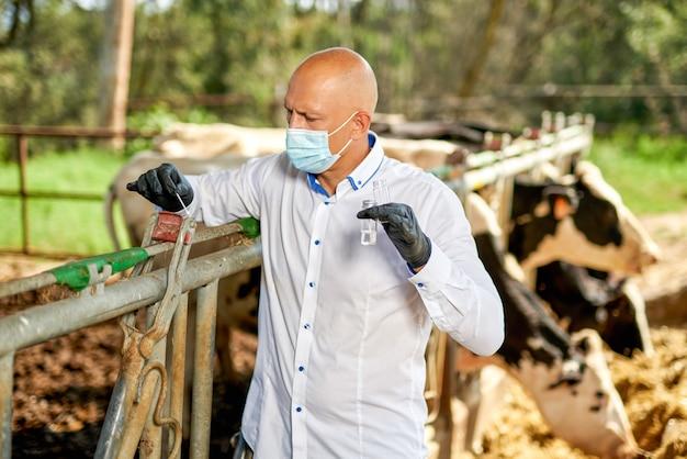 Lekarz weterynarii w gospodarstwie hodowlanym bydła wykonuje analizy.