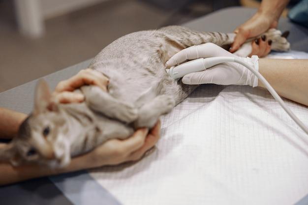 Lekarz weterynarii z asystentem przeprowadza badanie usg szarego kota w szpitalu