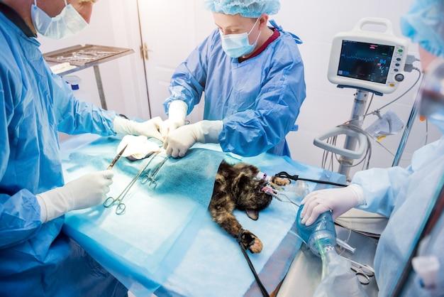 Lekarze weterynarii na sali operacyjnej wykonujący sterylizację kotów