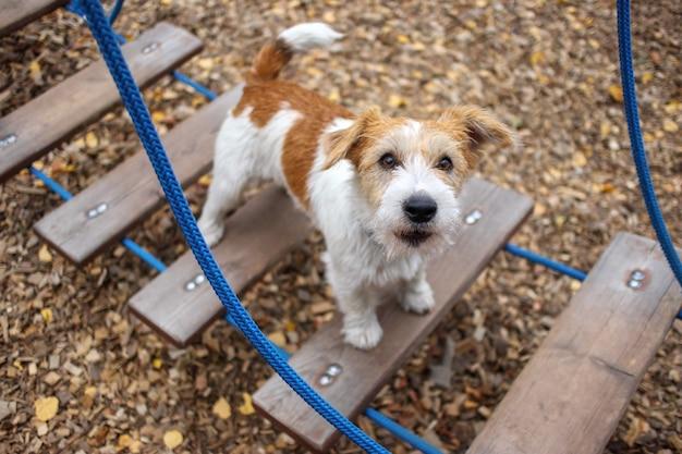 Lekcja agility. miasteczko szkolenia psów. szczeniak szorstkowłosy jack russell terrier siedzi na stopniu wiszącej drabinki sznurkowej