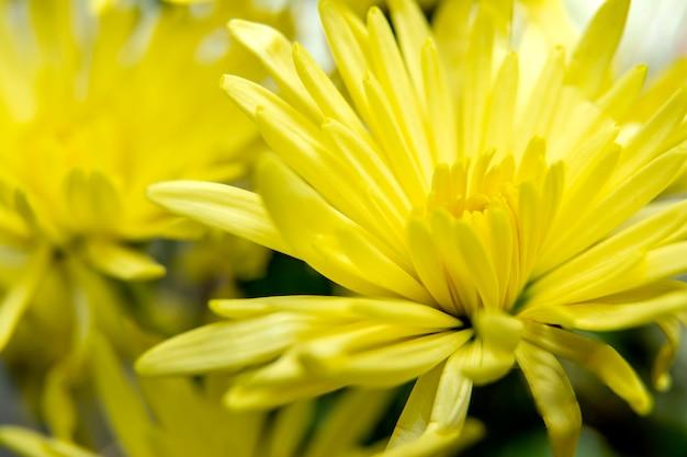 Lekki zakończenie up biały chrysant kwiat, żółty kwiatu tło /