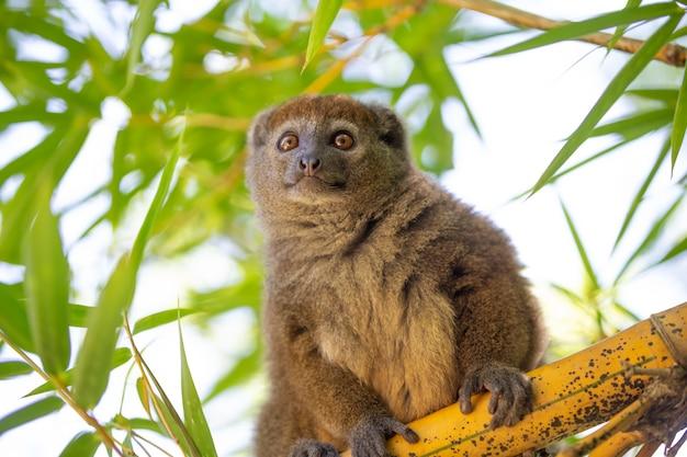 Lemur bambusowy siedzi na gałęzi i obserwuje odwiedzających park narodowy