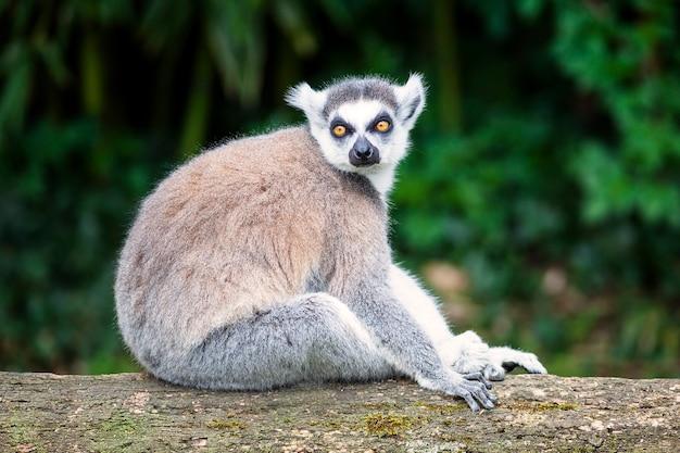 Lemur katta patrząc prosto przed siebie w lesie