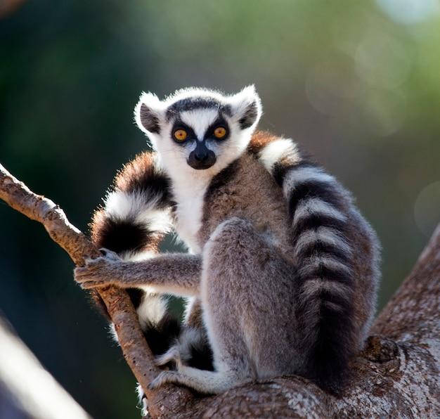 Lemur katta siedzi na drzewie