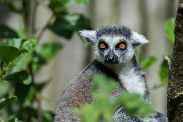 Lemur katta uważnie się przygląda