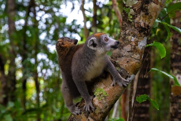 Lemur koronny na drzewie w lesie deszczowym madagaskaru