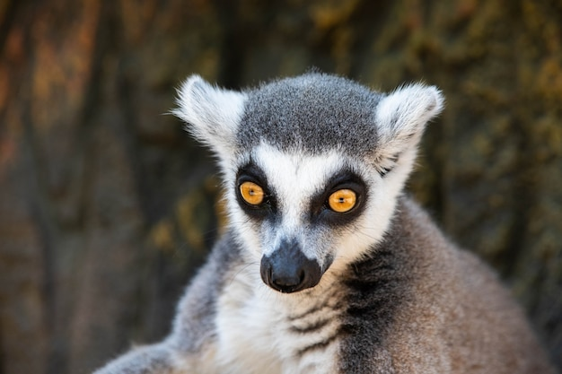 Lemur madagaskar z żółtymi oczami z bliska.