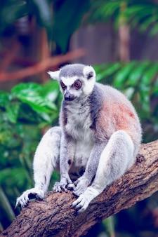 Lemur ogoniasty