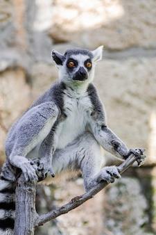 Lemur ringowy, (lemur catta)