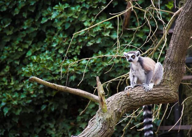 Lemur siedzi na drzewie. lemur catta