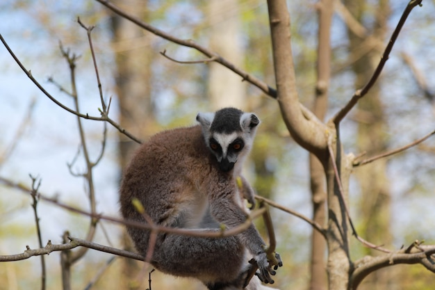Lemur siedzi na gałęzi drzewa