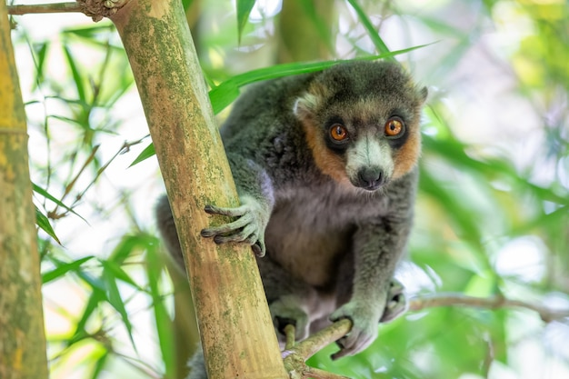 Lemur siedzi na gałęzi i obserwuje odwiedzających park narodowy
