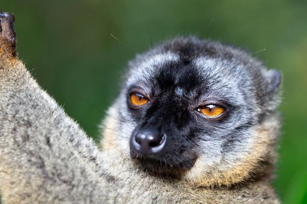 Lemur w lesie tropikalnym na drzewach