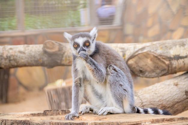 Lemur w zoo. zwierzę w niewoli. pasiasty ogon.