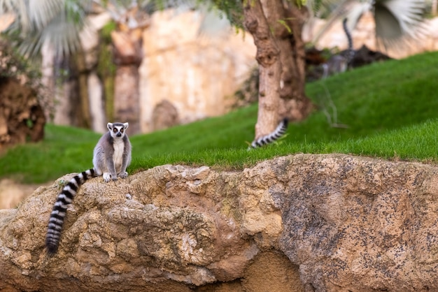 Lemura catta lemuridae patrzeje kamerę podczas gdy odpoczywający na skale w zoo.